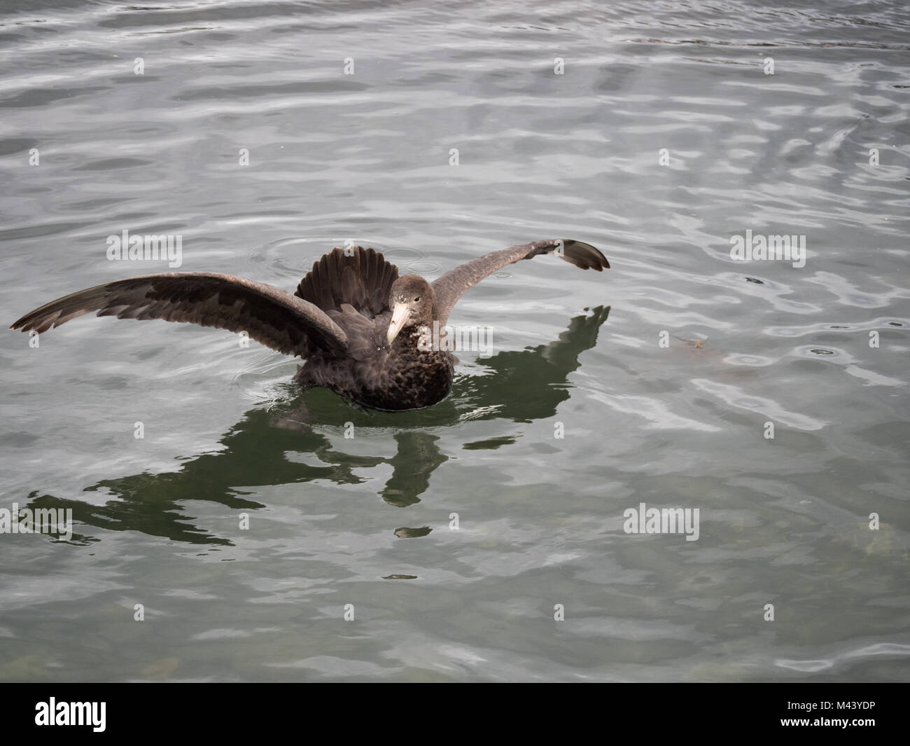 A Northern Giant Petrel bird floating on gray-green water with its wings extended. - Stock Image