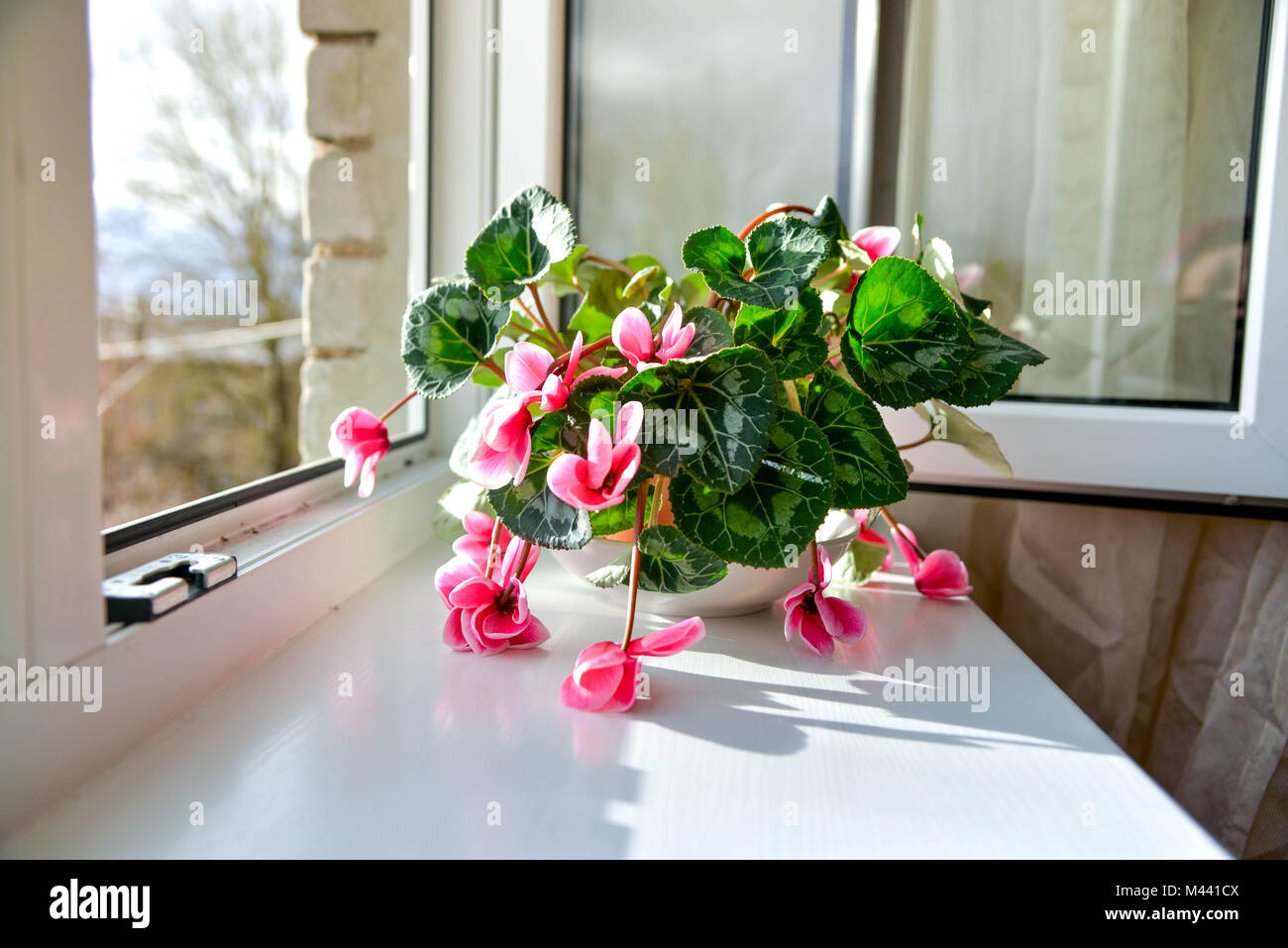 Wilted colorful variegated white and pink cyclamen flowers with ornamental leaves cultivated as indoor houseplants on window sill with open windows, i Stock Photo
