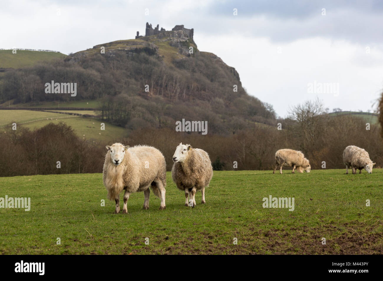 Sheep graze in field below the ruins of medieval Cerreg Cennen Castle, Trapp, Carmarthenshire, Wales - Stock Image