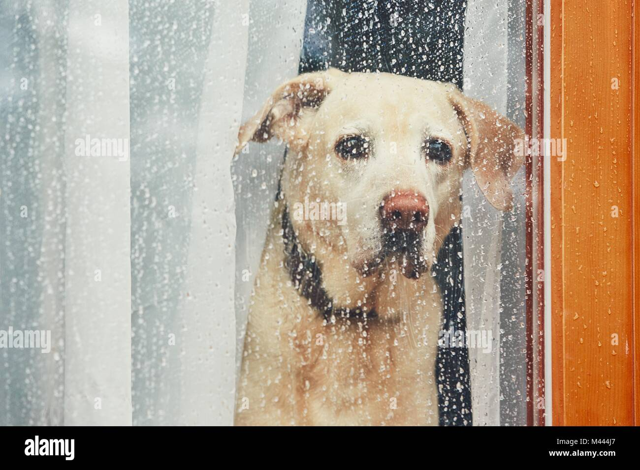 Sad dog waiting alone at home. Labrador retriever looking through window during rain. - Stock Image