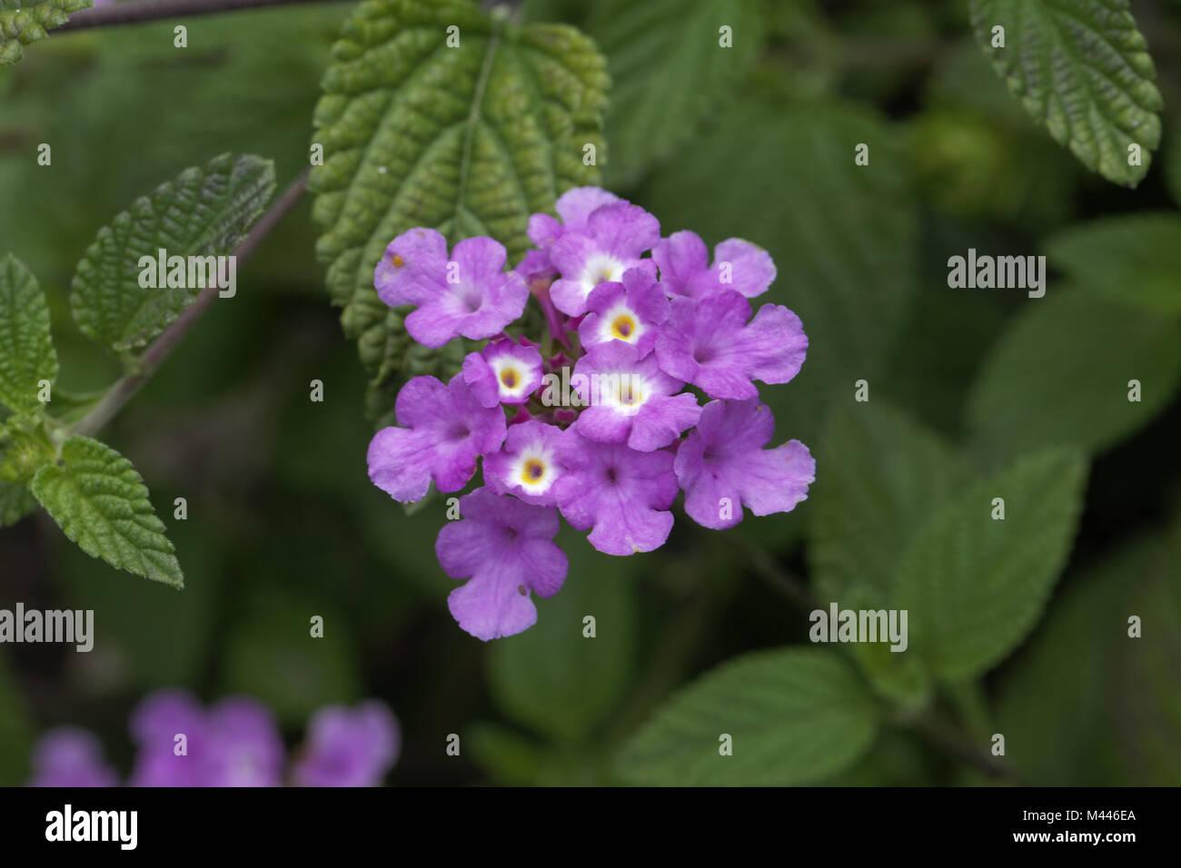 Lantana Montevidensis Trailing Or Creeping Lantana Garden Stock