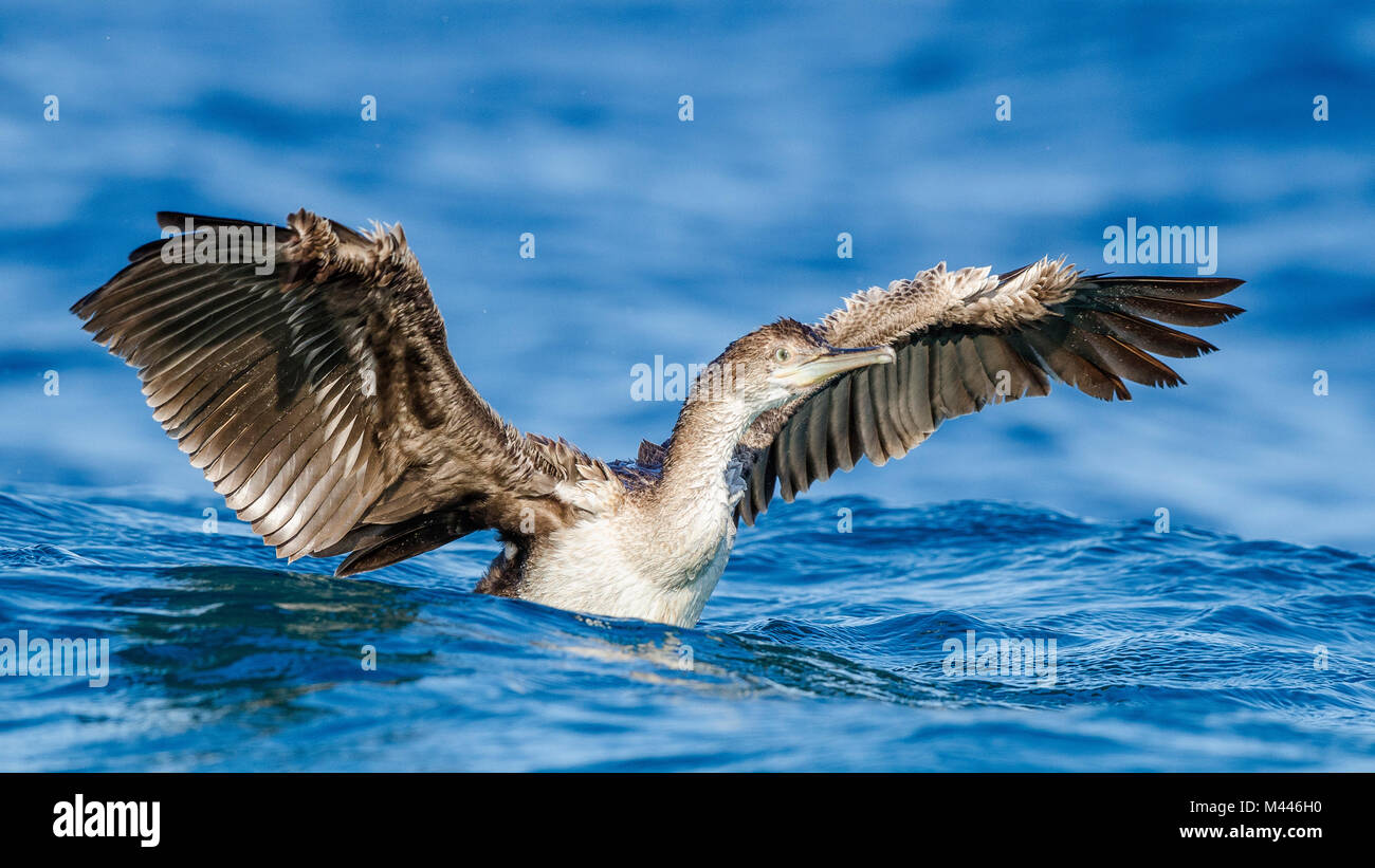 Common shag (Phalacrocorax aristotelis) with extended wings in water,young bird,Island of Krk,Croatia - Stock Image