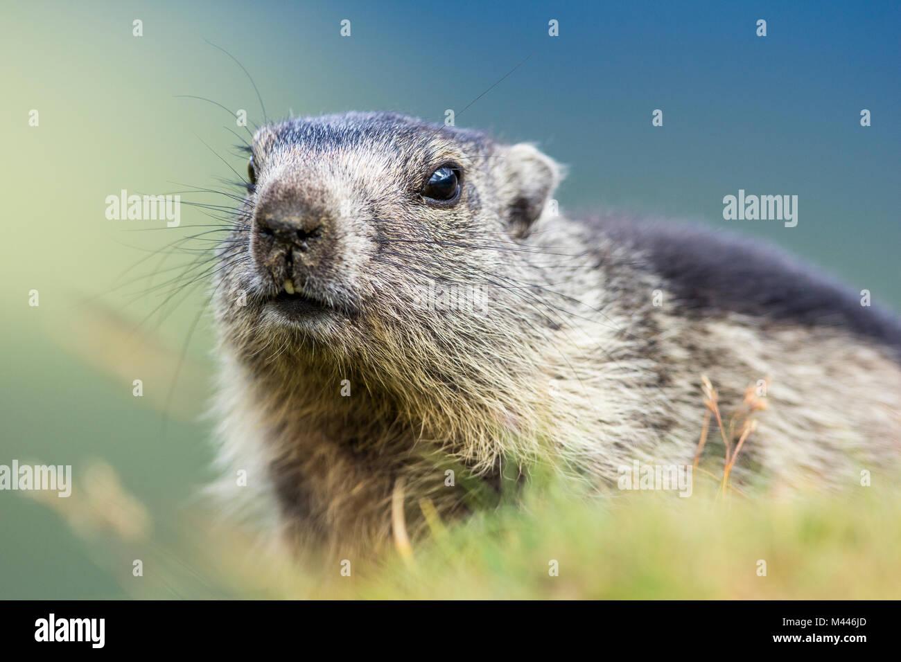 Marmot (Marmota),young animal,animal portrait,Großglockner,Carinthia,Austria - Stock Image