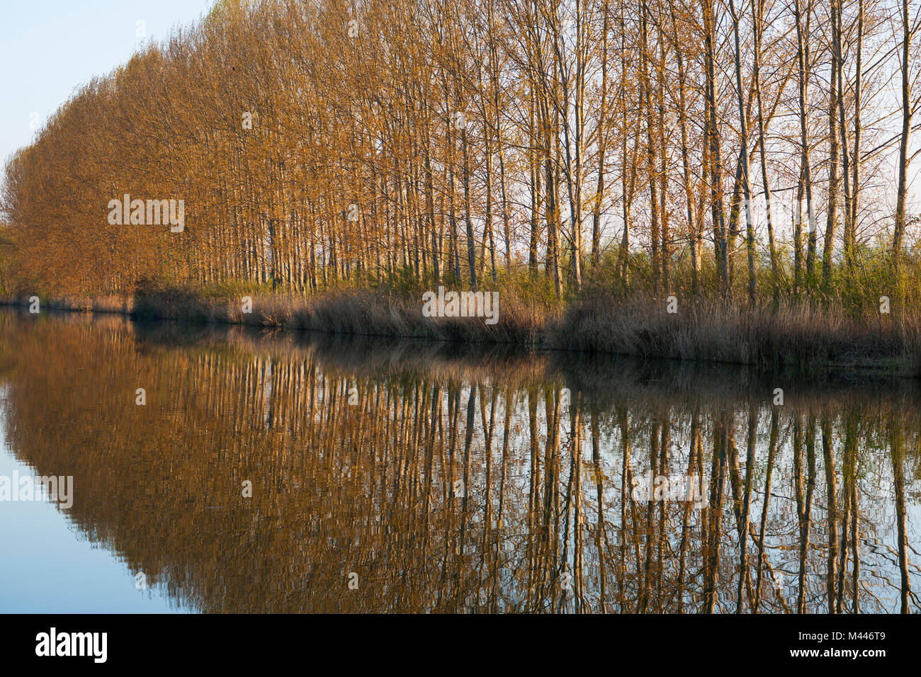 Black Poplars (Populus) with water reflections,Herbslebener Teiche nature reserve,Thuringia,Germany - Stock Image