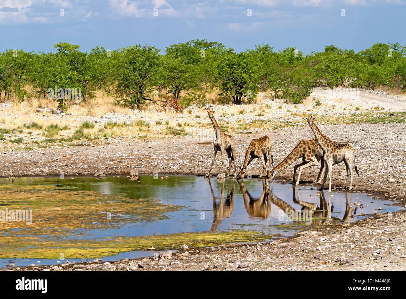 Etosha National Park - Giraffe at the waterhole - Stock Image