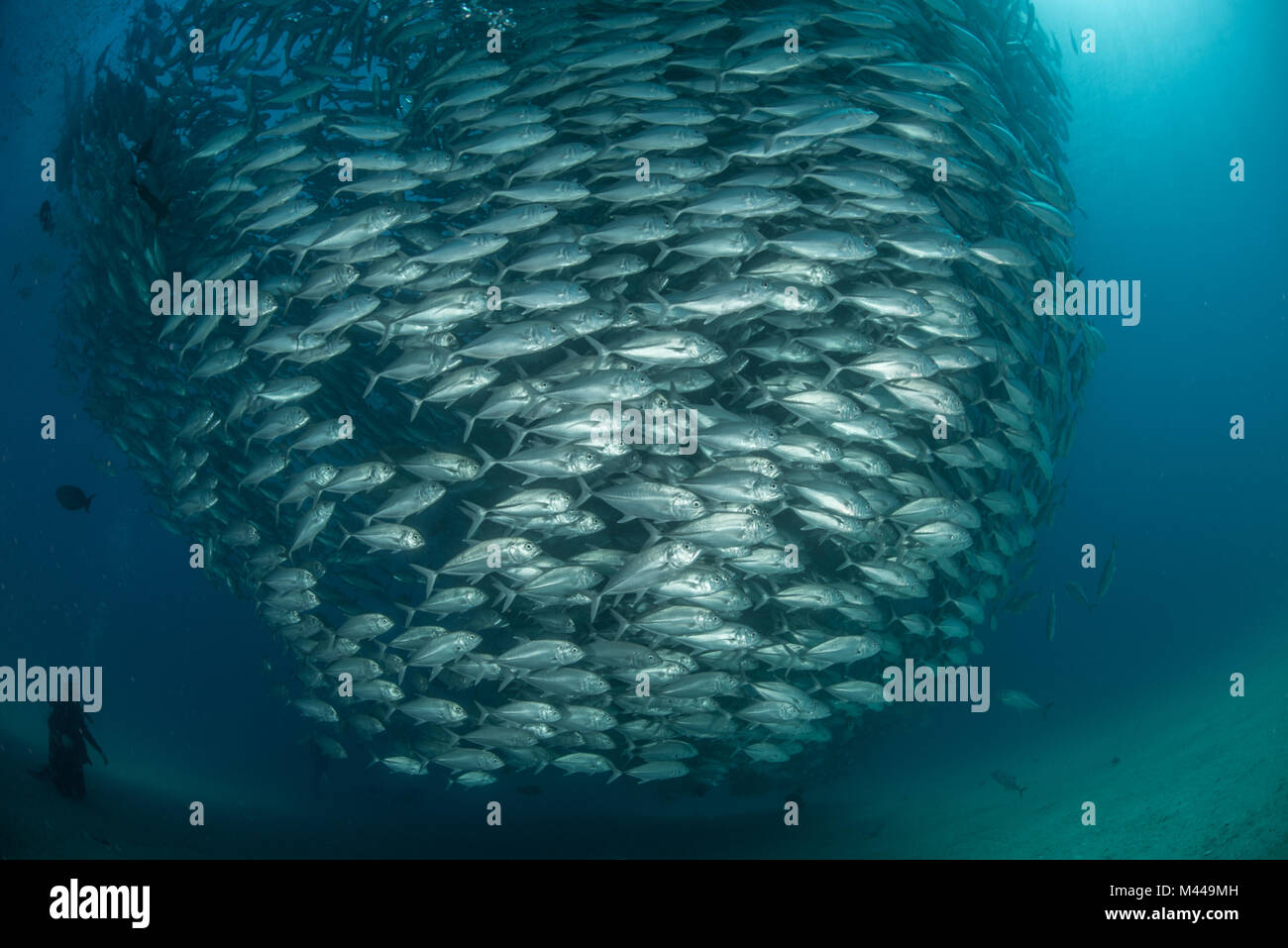 Diver swimming with school of jack fish, underwater view, Cabo San Lucas, Baja California Sur, Mexico, North America - Stock Image