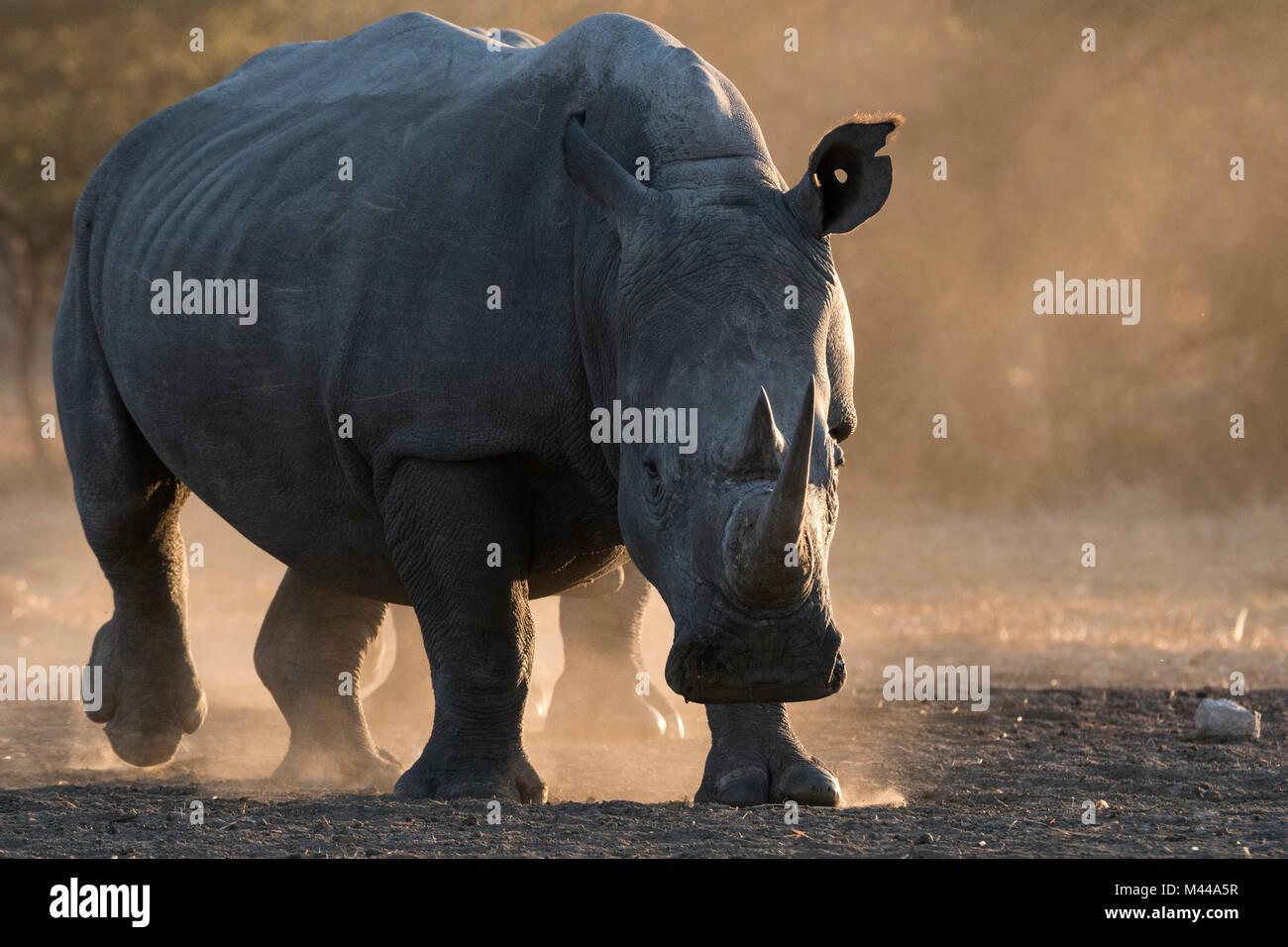White rhinoceros (Ceratotherium simum) in dust, Kalahari, Botswana - Stock Photo