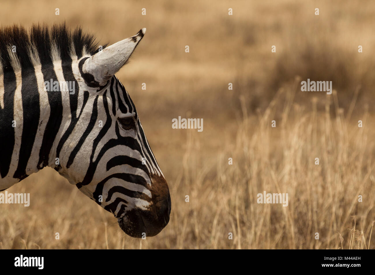 Zebra, Equus burchelli, Serengeti National Park, Tanzania - Stock Image