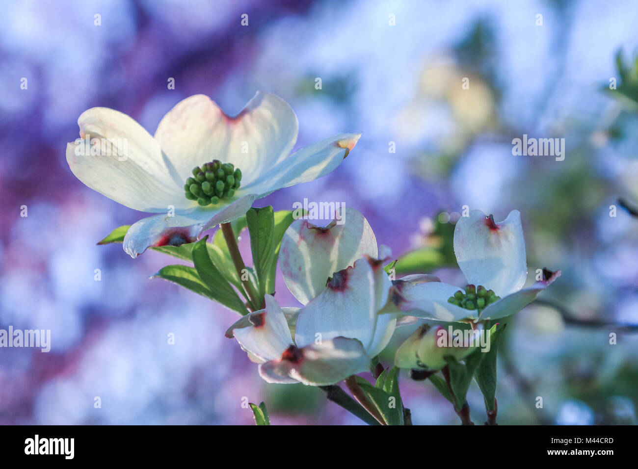 Beautiful view of the blooming dogwood flower; blooming red-bud tree in the backgkround - Stock Image