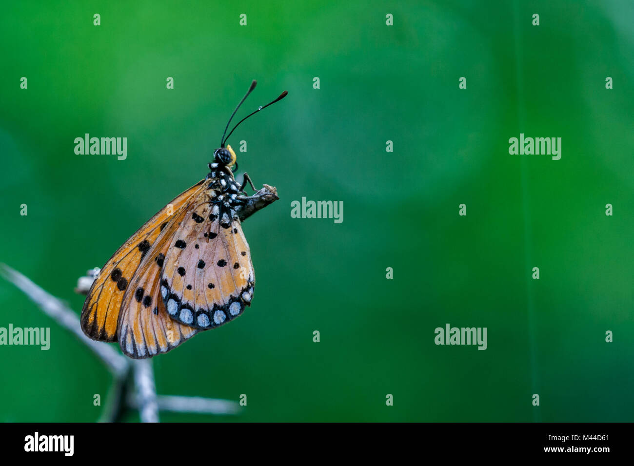 the tawny coster butterfly (Acraea terpsicore) in Nanmangalam reserved forest, Chennai, Tamilnadu, India - Stock Image