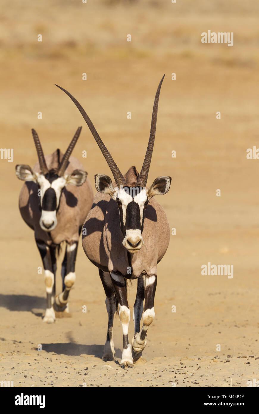Gemsbok (Oryx gazella. Male with crippled horns follows a female. Kalahari Desert, Kgalagadi Transfrontier Park, - Stock Image
