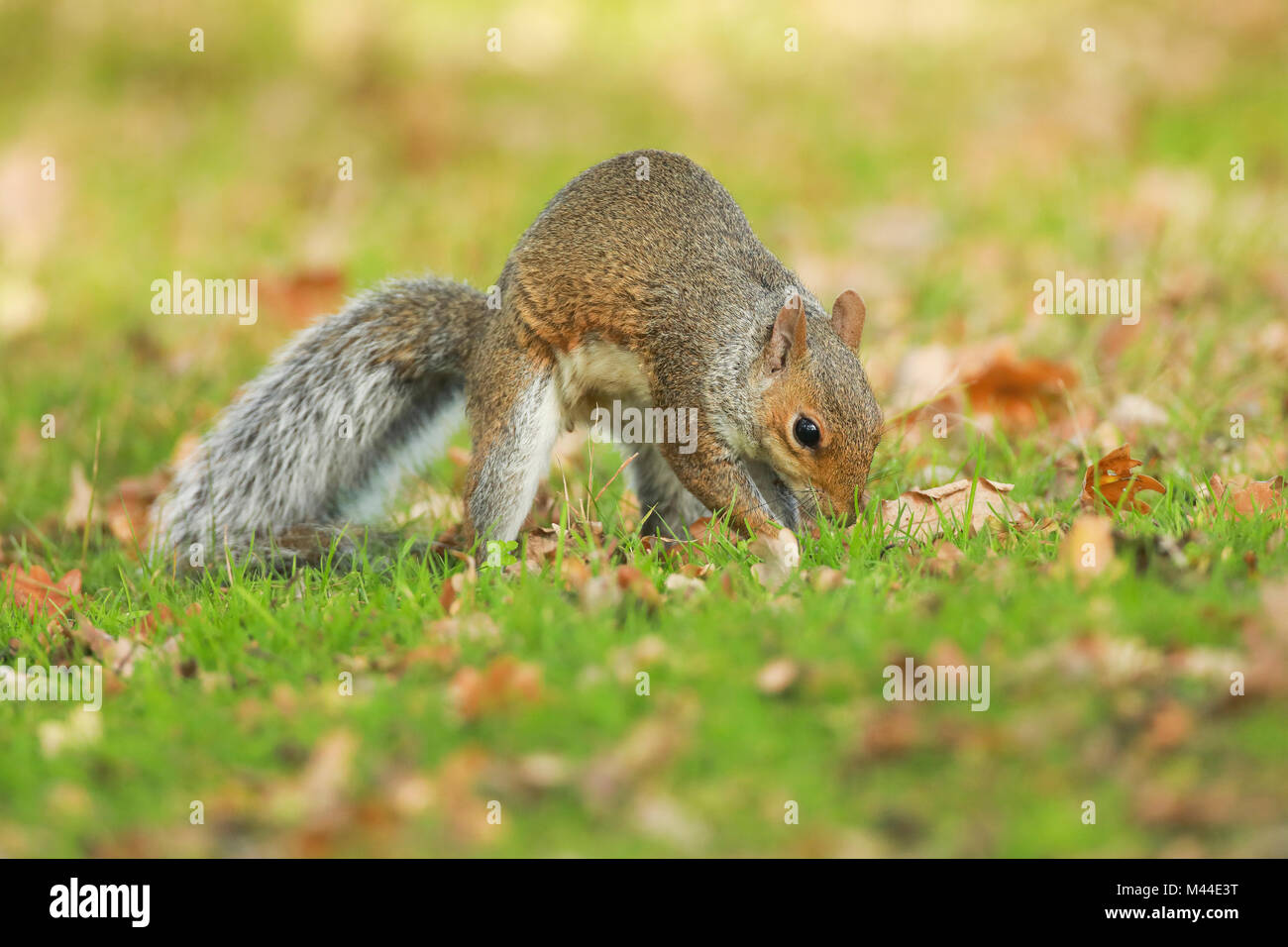 Grey Squirrel, Gray Squirrel (Sciurus carolinensis) burying an acorn in a cache. Richmond Park, London, England - Stock Image
