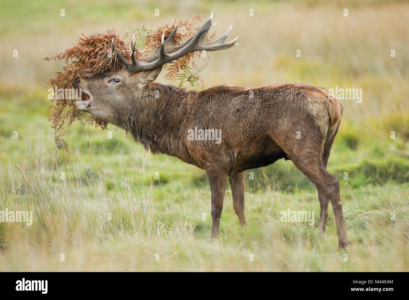 Stag Head Stock Photos & Stag Head Stock Images - Alamy