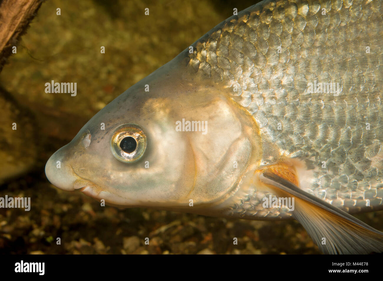 Common Nase (Chondrostoma nasus). Portrait of adult under water. Germany Stock Photo