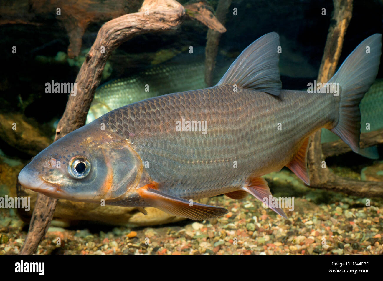 Common Nase (Chondrostoma nasus). Two adults under water. Germany Stock Photo
