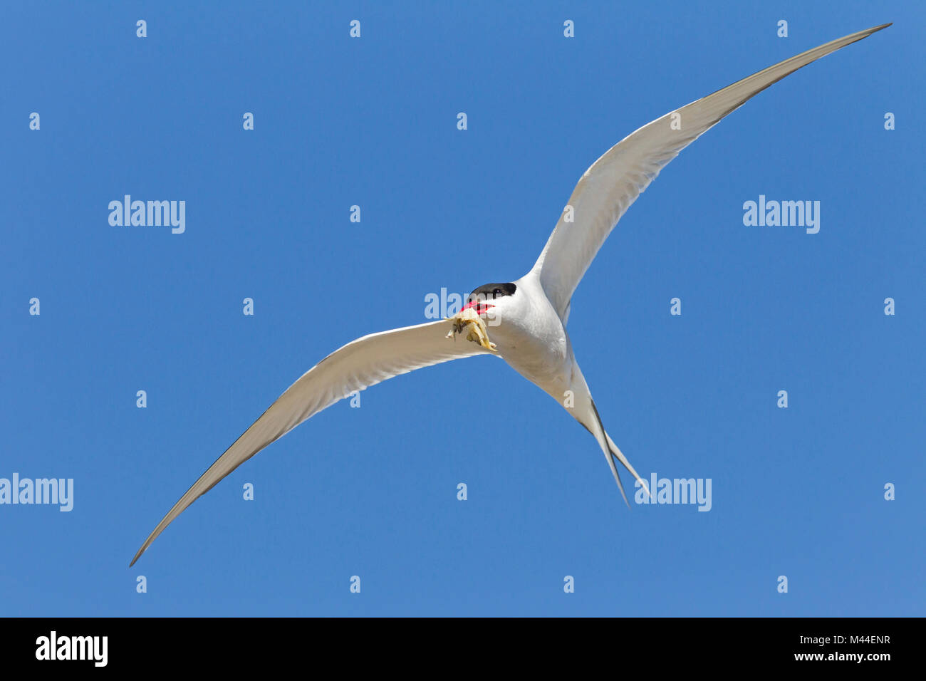 Arctic Tern (Sterna paradisaea), adult in flight with Shore Crab in its bill. Germany - Stock Image