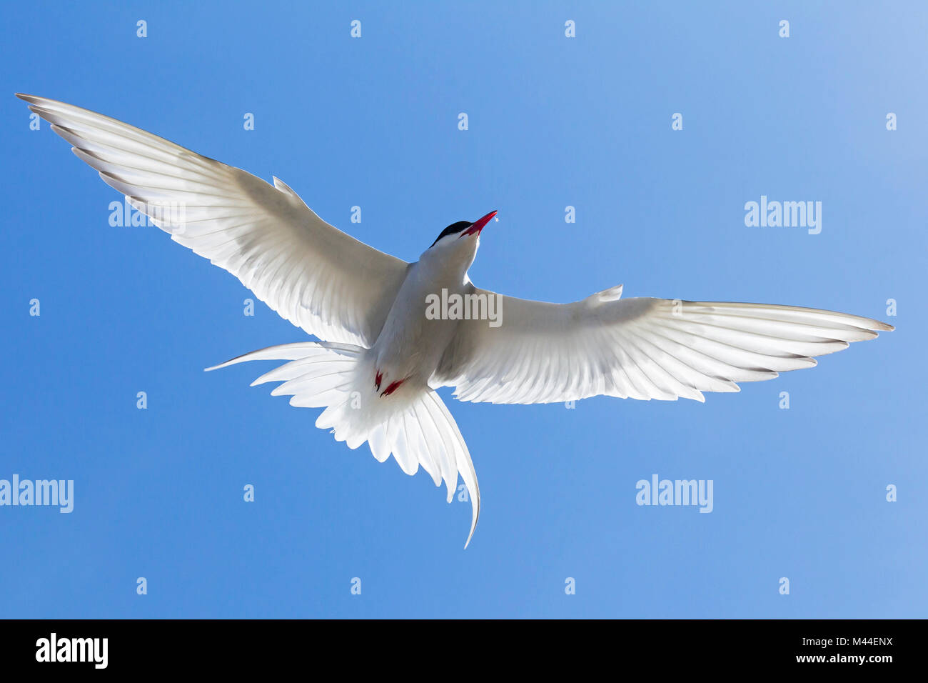 Arctic Tern (Sterna paradisaea), adult in flight. Germany - Stock Image