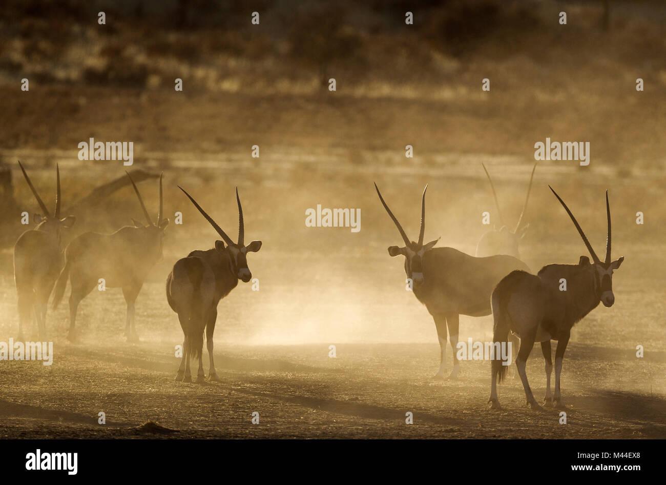 Gemsbok (Oryx gazella. Nervous and raising lots of dust in the early morning. Kalahari Desert, Kgalagadi Transfrontier Stock Photo