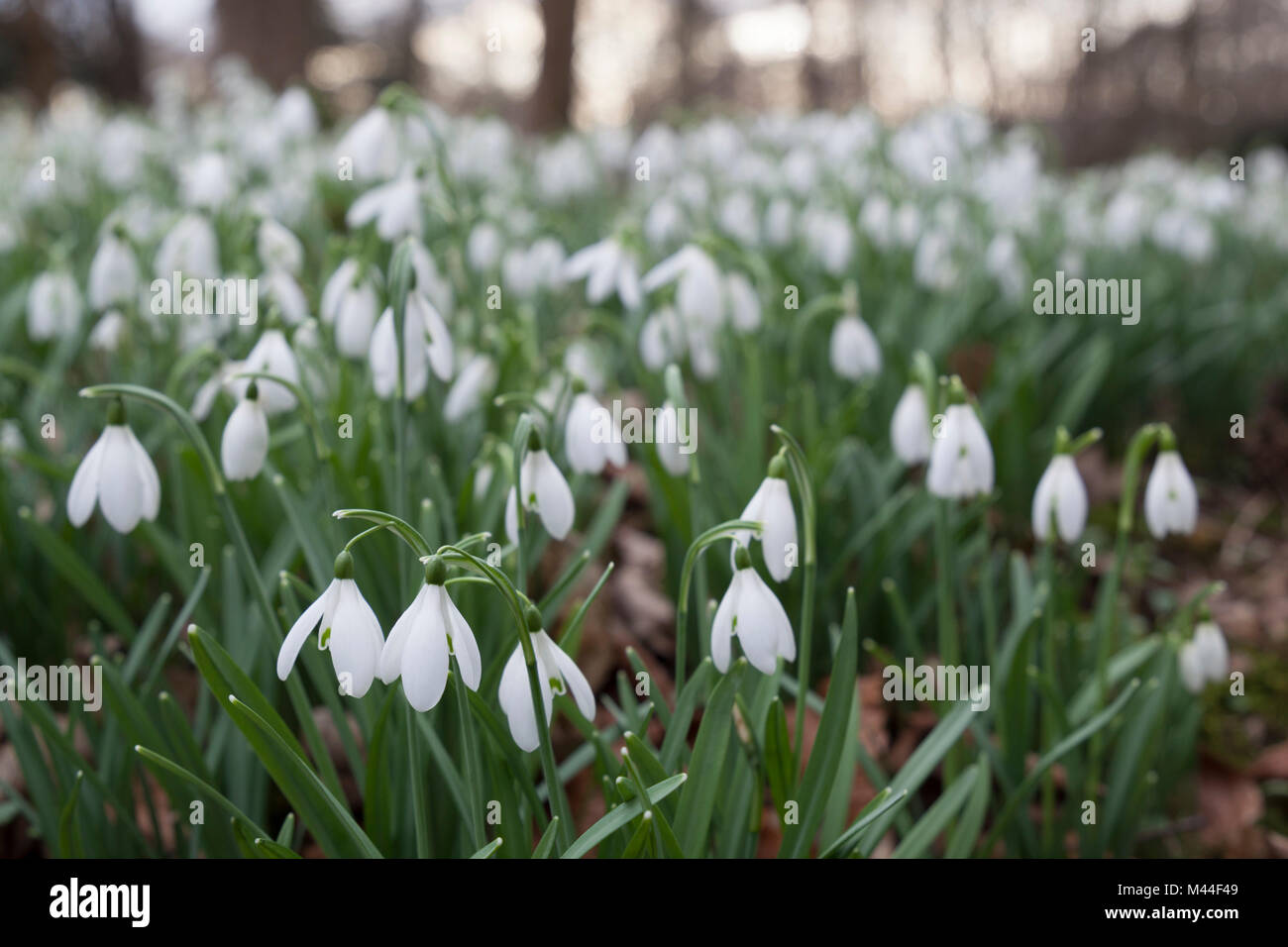 Snowdrops in winter woodland, The Cotswolds, Gloucestershire, England, United Kingdom, Europe - Stock Image