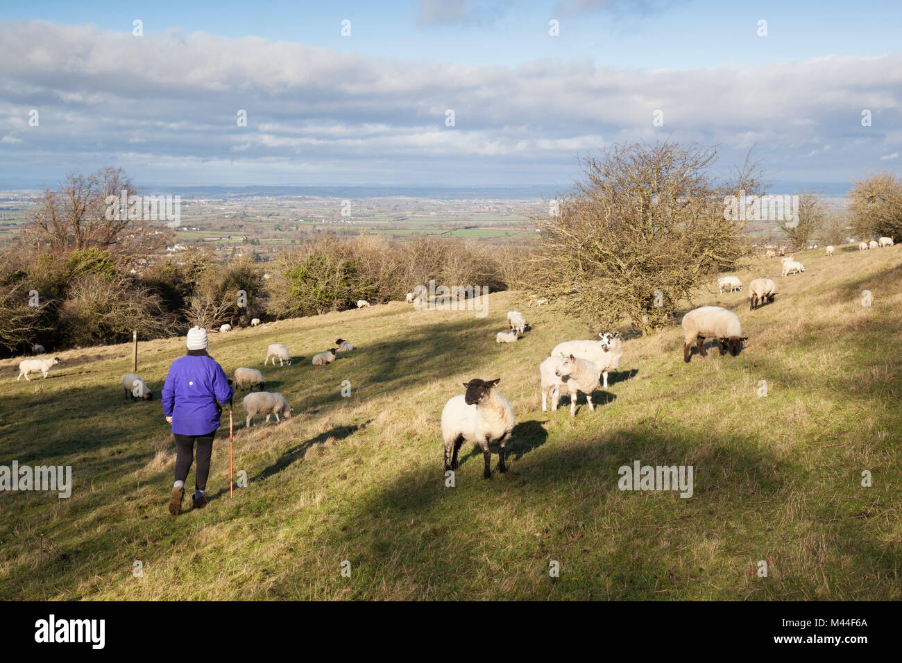 Walker on footpath in field with sheep above Broadway village and view over Vale of Evesham, Broadway, The Cotswolds, - Stock Image