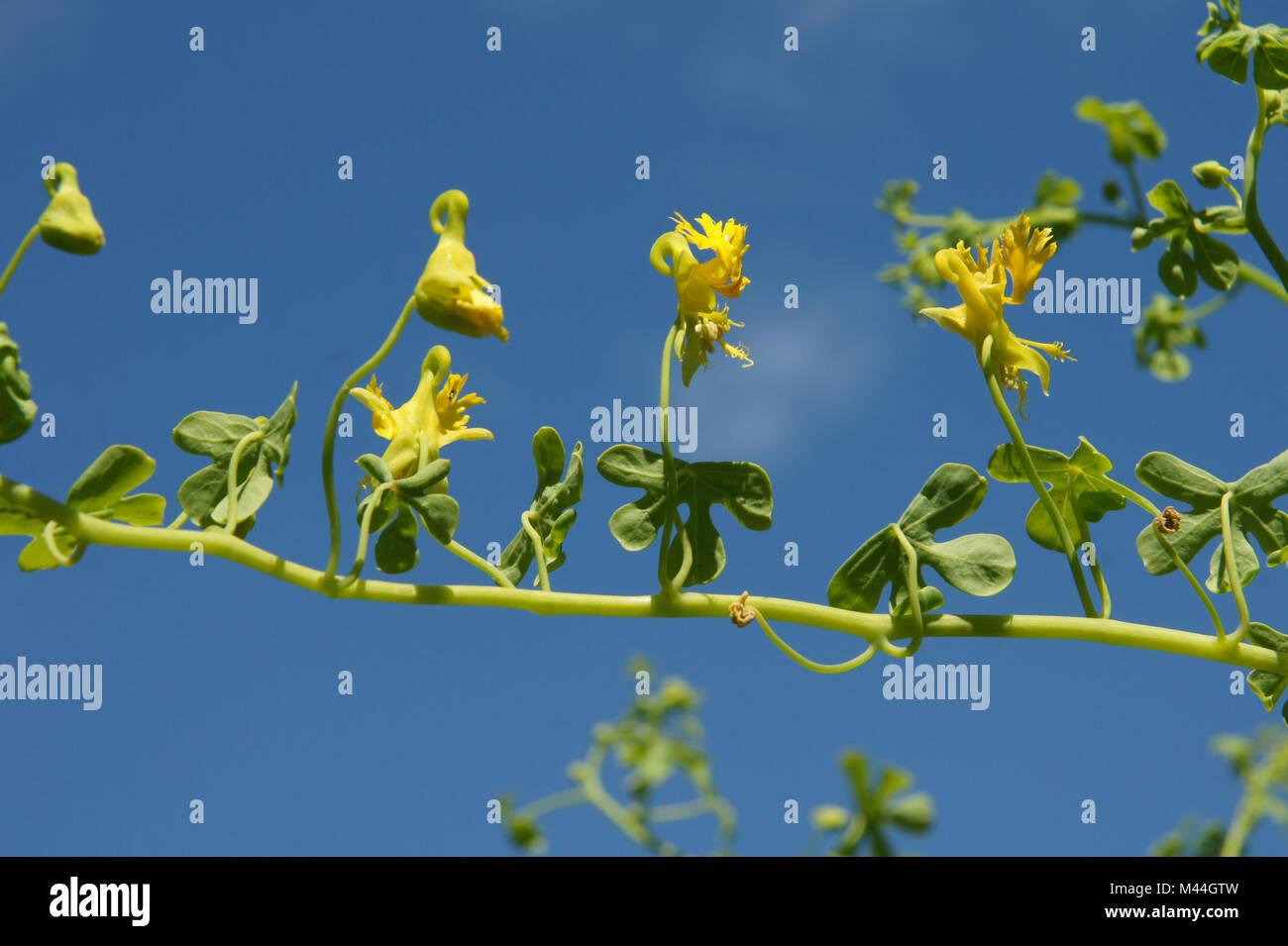 Tropaeolum peregrinum, Kanarische Kapuzinerkresse, canary creeper Stock Photo