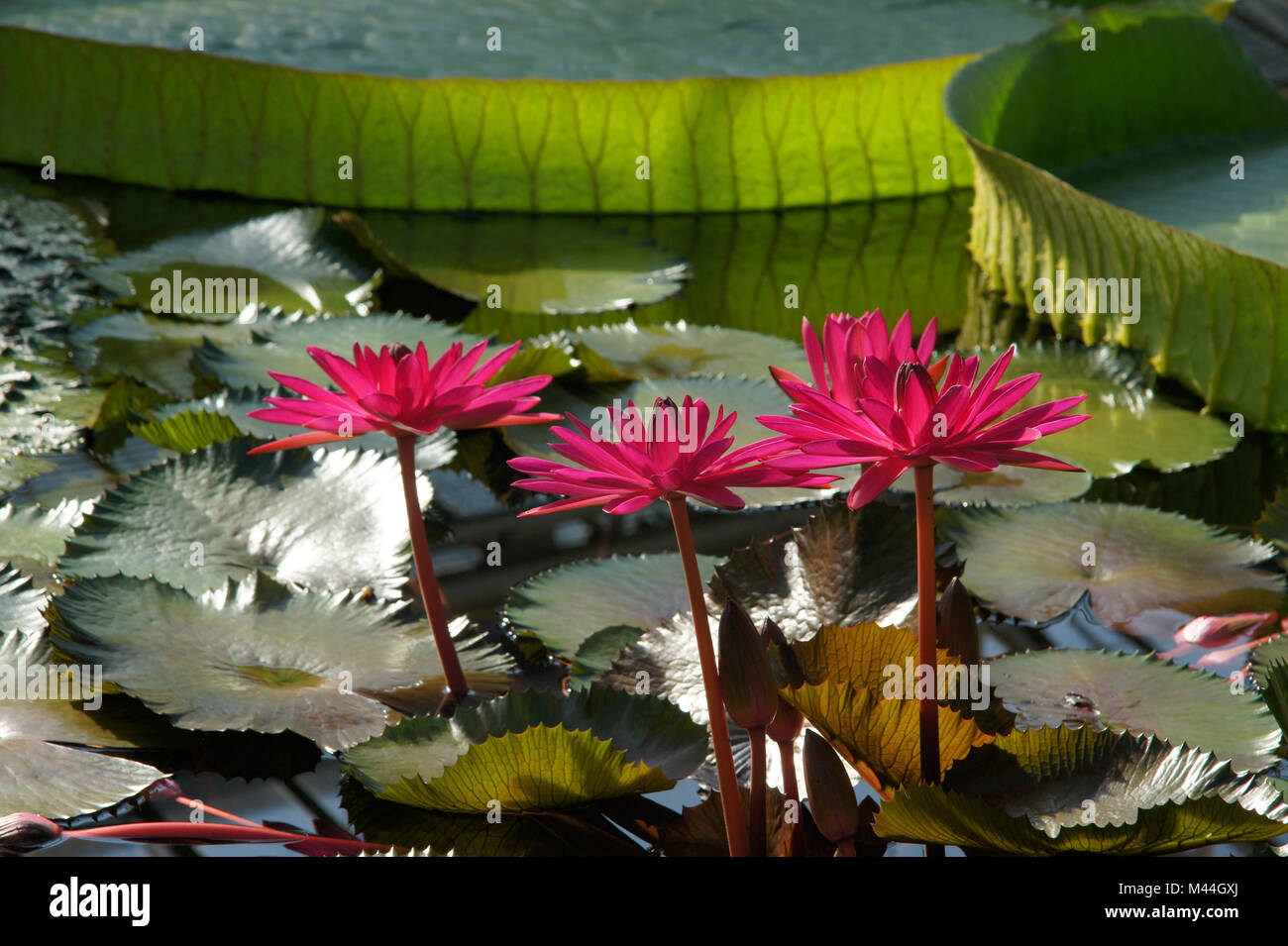 Nymphaea rubra Red Flare, Rote Seerose, red waterlily - Stock Image