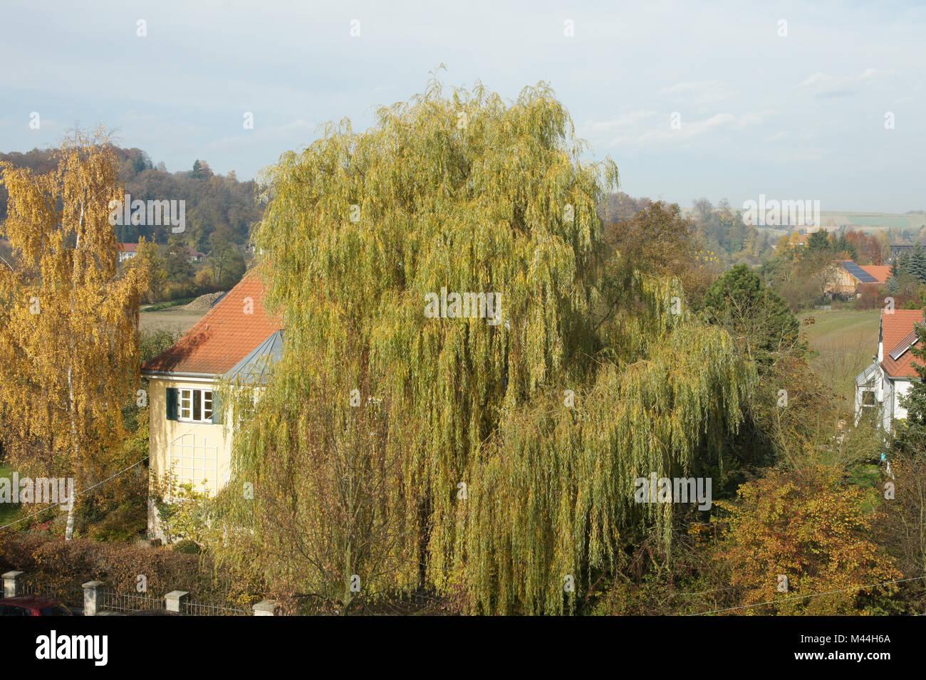 Salix alba Tristis, Trauerweide, weeping willow - Stock Image