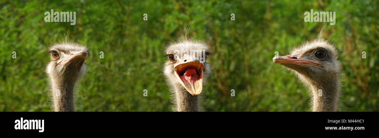 ostrich composition - Stock Image