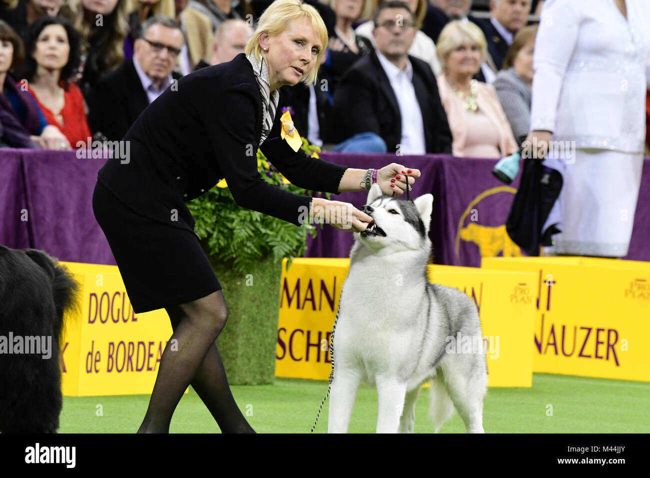 New York City, United States. 13th Feb, 2018. Day two of the the 142nd Annual Westminster Kennel Club Dog Show took Stock Photo