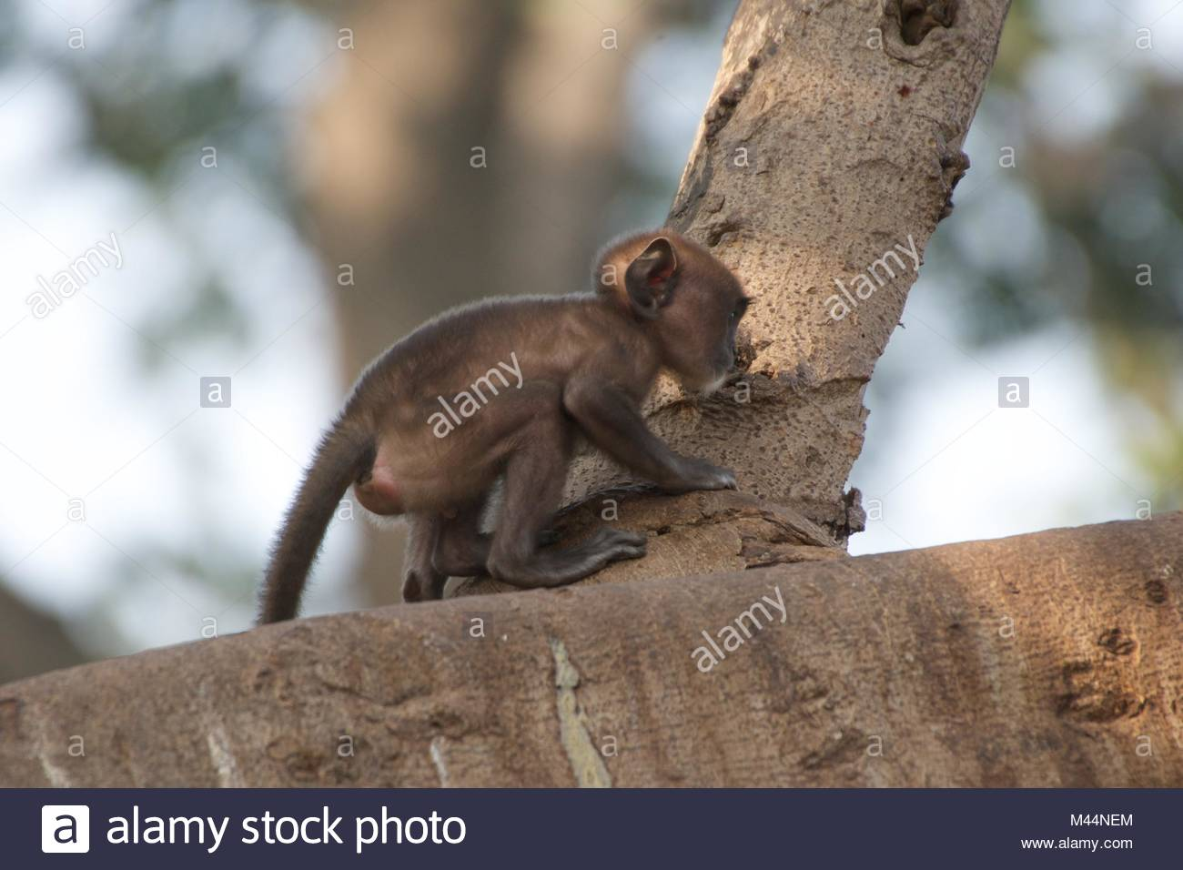 Baby langur crouched on branch Stock Photo