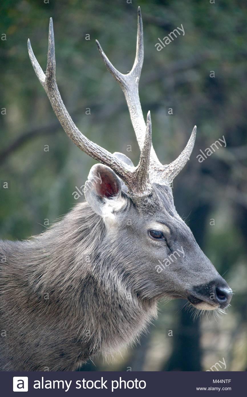 Profile of male sambar deer - Stock Image