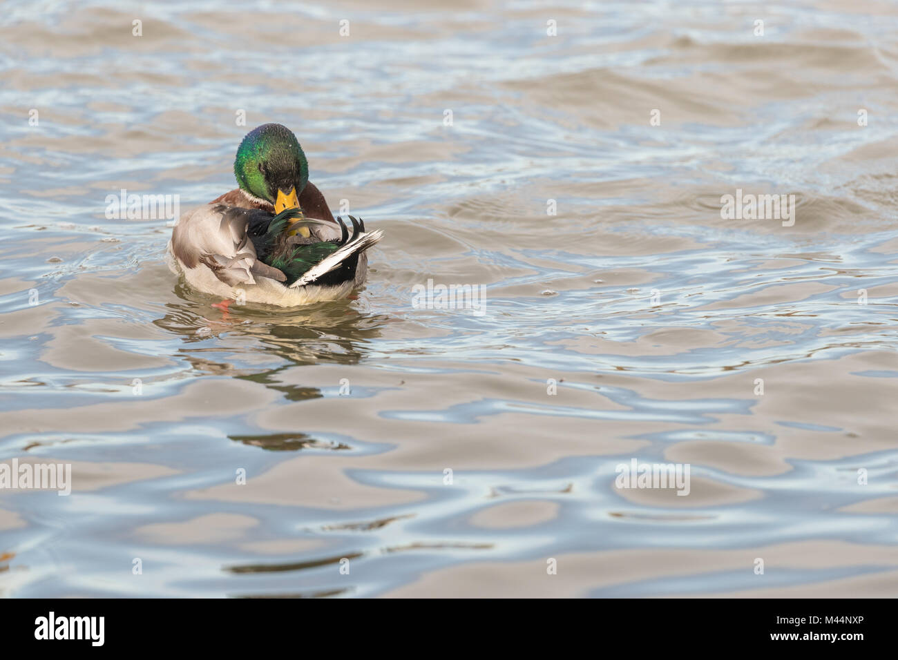 Mallard (Anas platyrhynchos) drake preening in the water close up Stock Photo