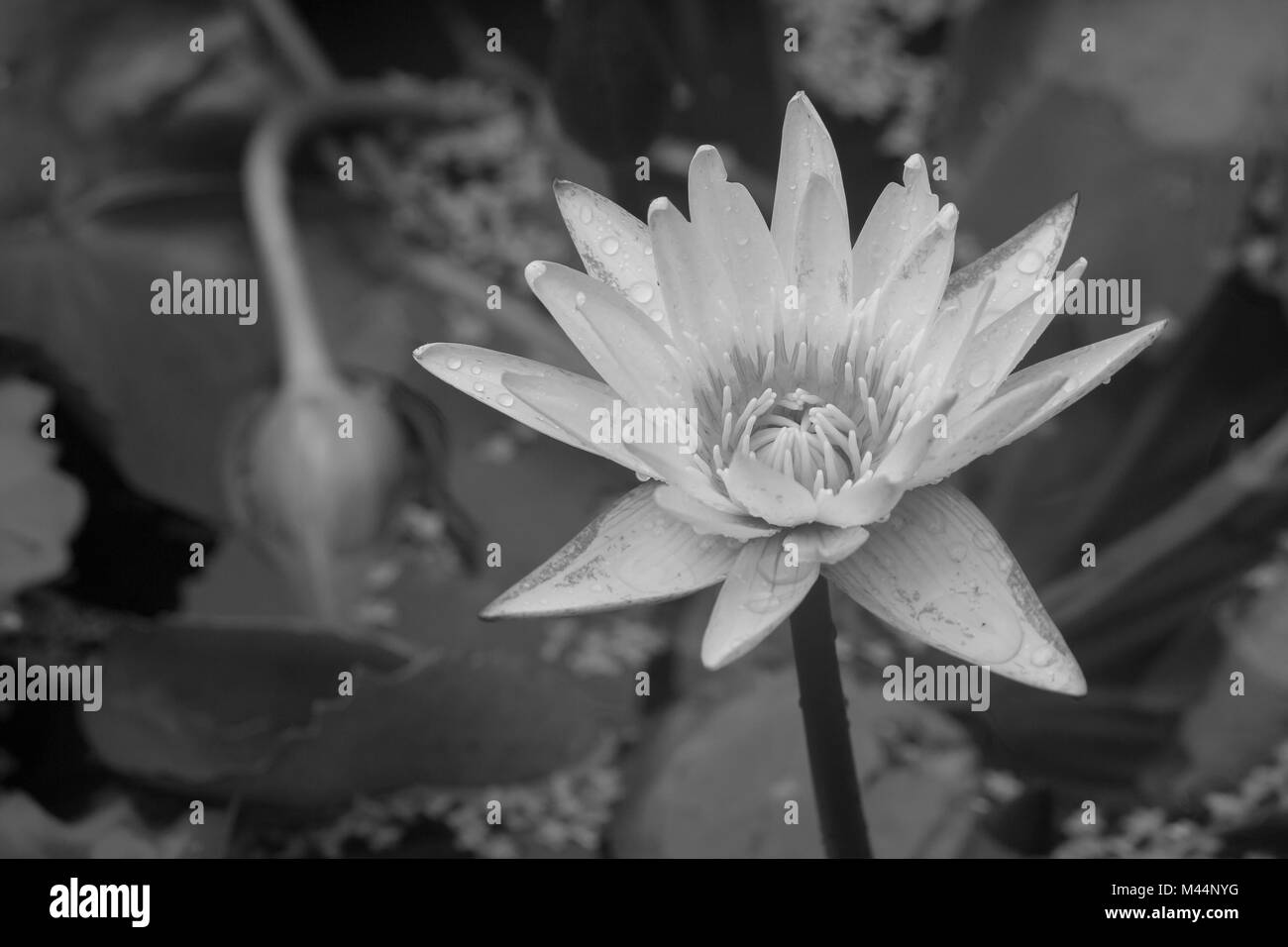 Lotus Flower As Symbol Black And White Stock Photos Images Alamy