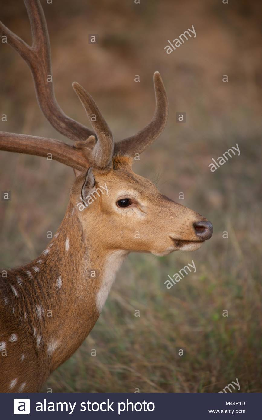 Profile of spotted deer - Stock Image