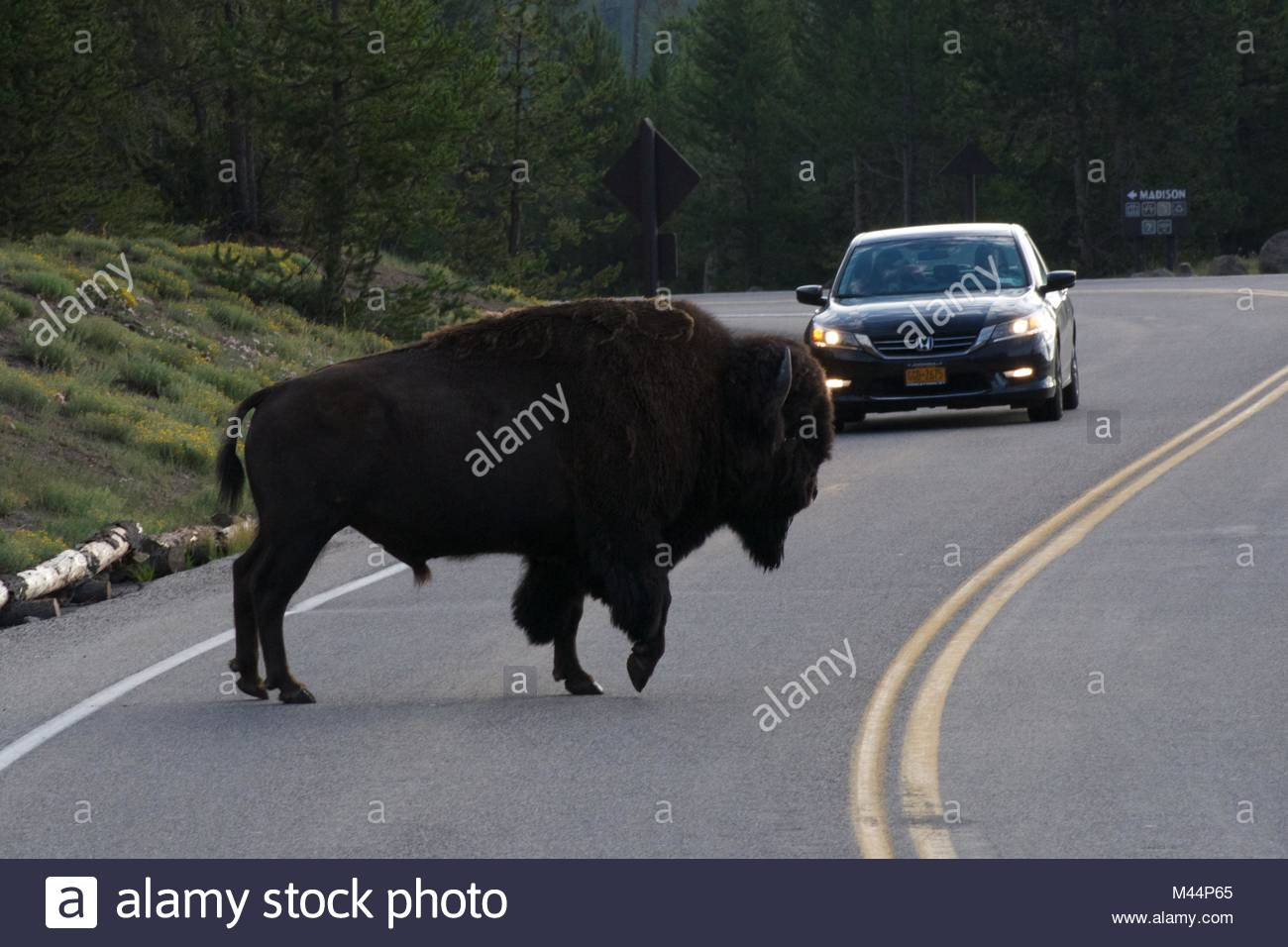 Car letting a bison cross the road - Stock Image
