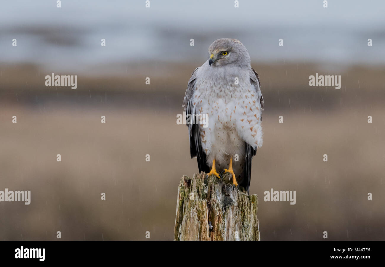 Northern Harrier in the Rain Stock Photo
