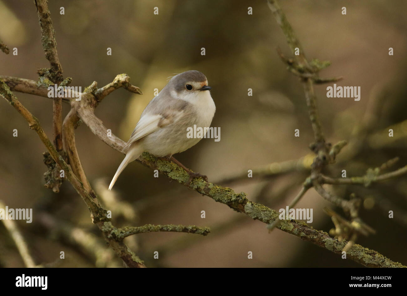 A rare Leucistic Robin (Erithacus rubecula) perched  on a branch in a tree. - Stock Image