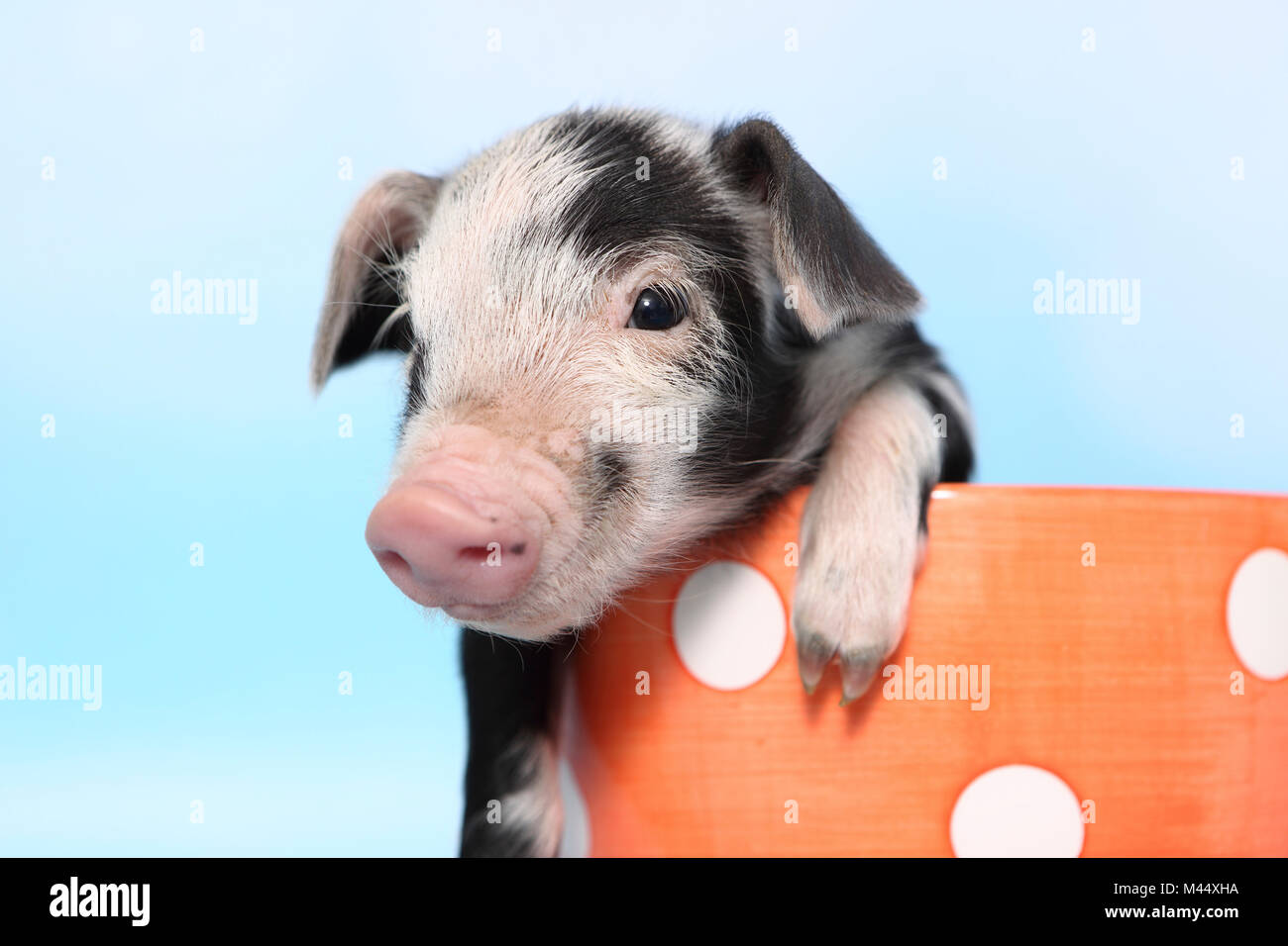 Domestic Pig, Turopolje x ?. Piglet (1 week old) in a big orange cup with polka dots. Studio picture seen against - Stock Image