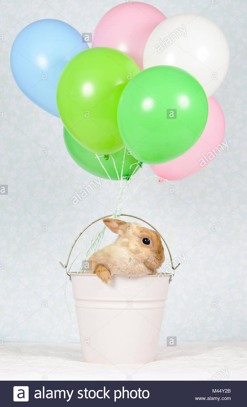 Netherland Dwarf Rabbit. Adult female (6 years old) sitting in a bucket with attached balloons. Studio picture seen Stock Photo