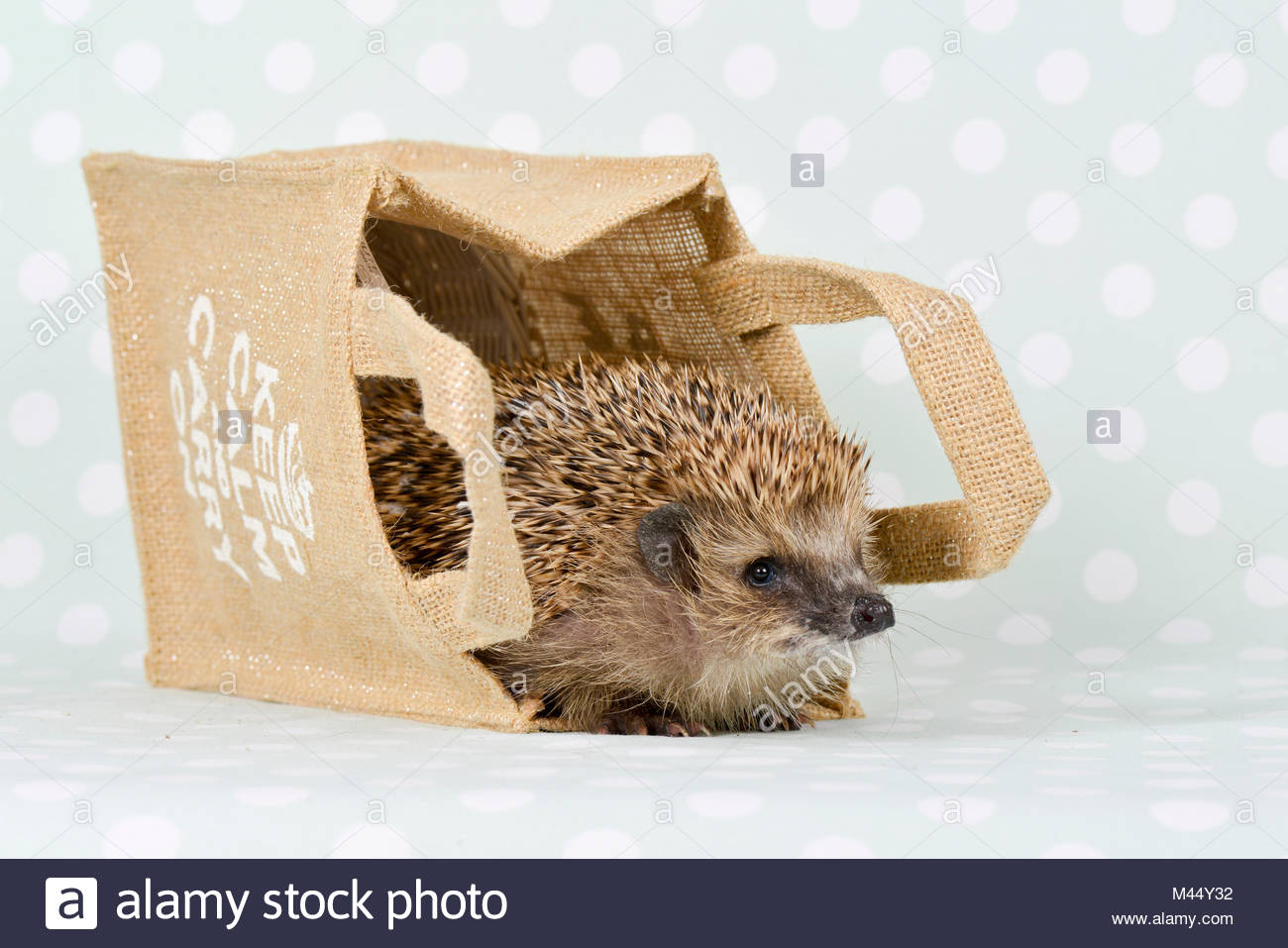 European Hedgehog (Erinaceus europaeus). Adult in a paper carrier. Studio picture, seen against a green background - Stock Image