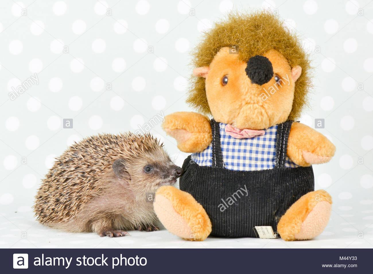European Hedgehog (Erinaceus europaeus). Adult investigating a plush hedgehog. Studio picture, seen against a green - Stock Image