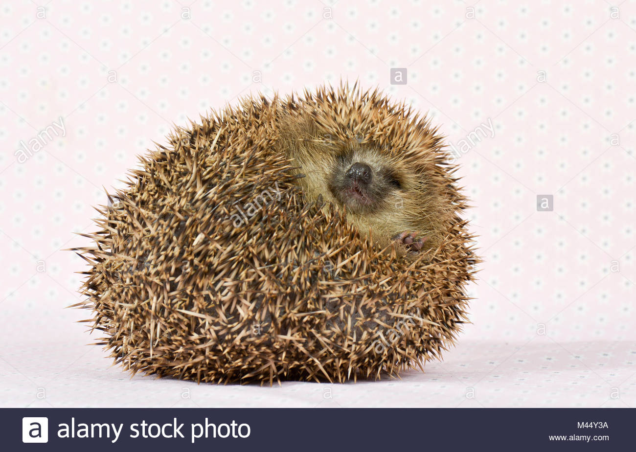 European Hedgehog (Erinaceus europaeus). Adult rolled into a tight ball. Studio picture, seen against a pink background. - Stock Image