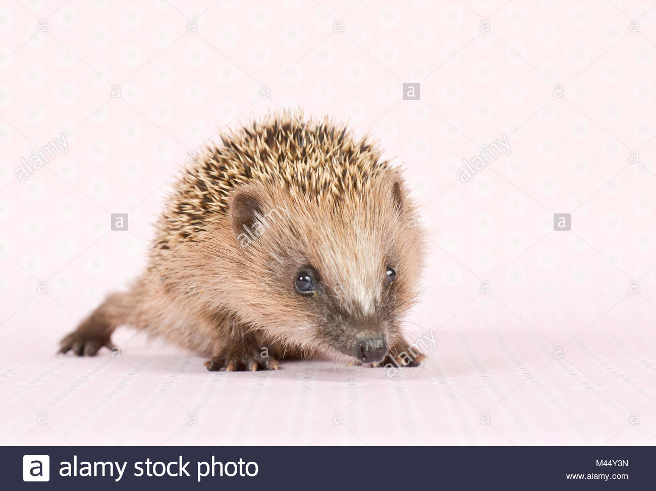 European Hedgehog (Erinaceus europaeus). Young (4 weeks old), walking. Studio picture, seen against a pink background. - Stock Image