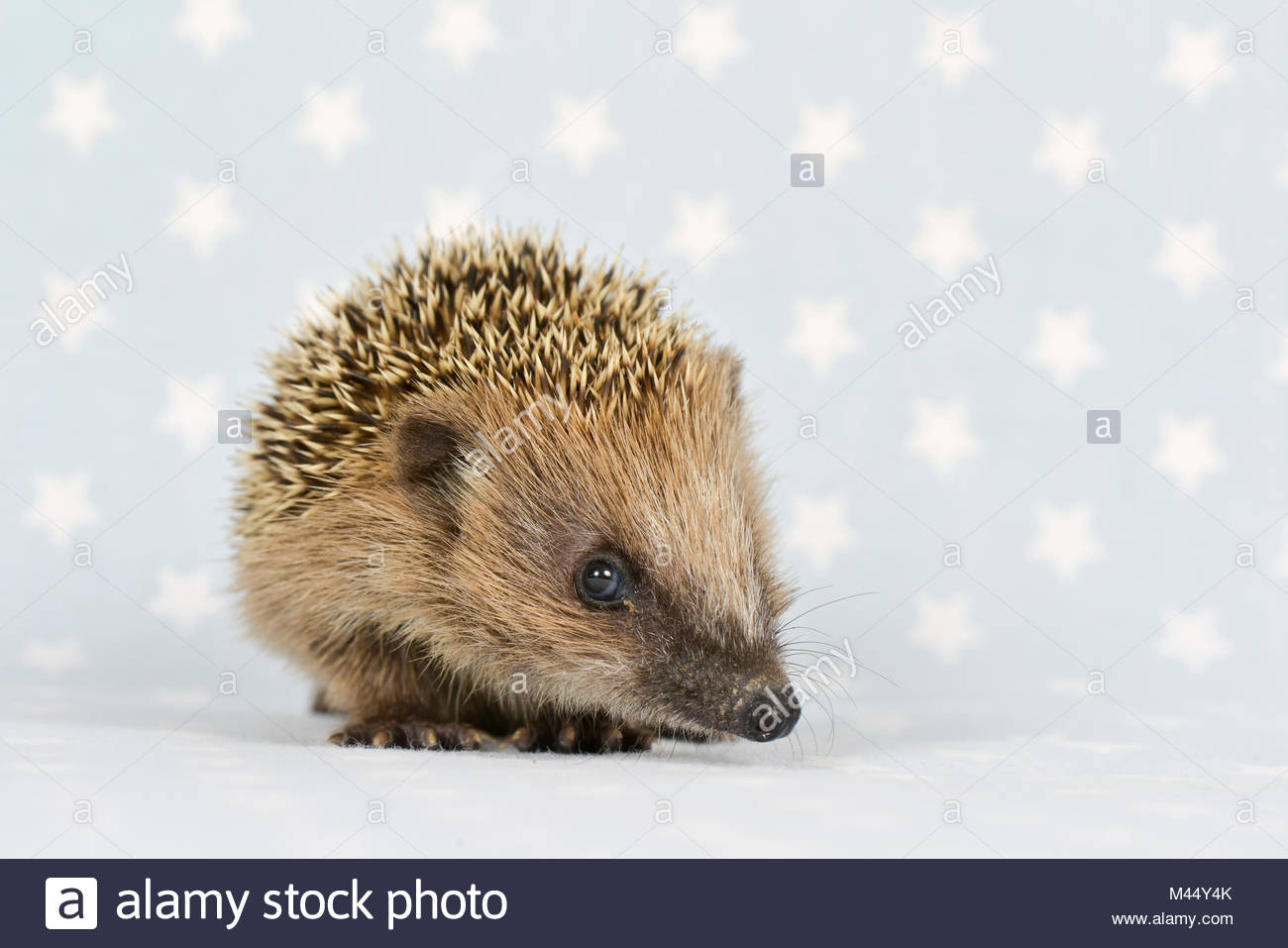 European Hedgehog (Erinaceus europaeus). Young (4 weeks old), standing. Studio picture, seen against a gray background - Stock Image