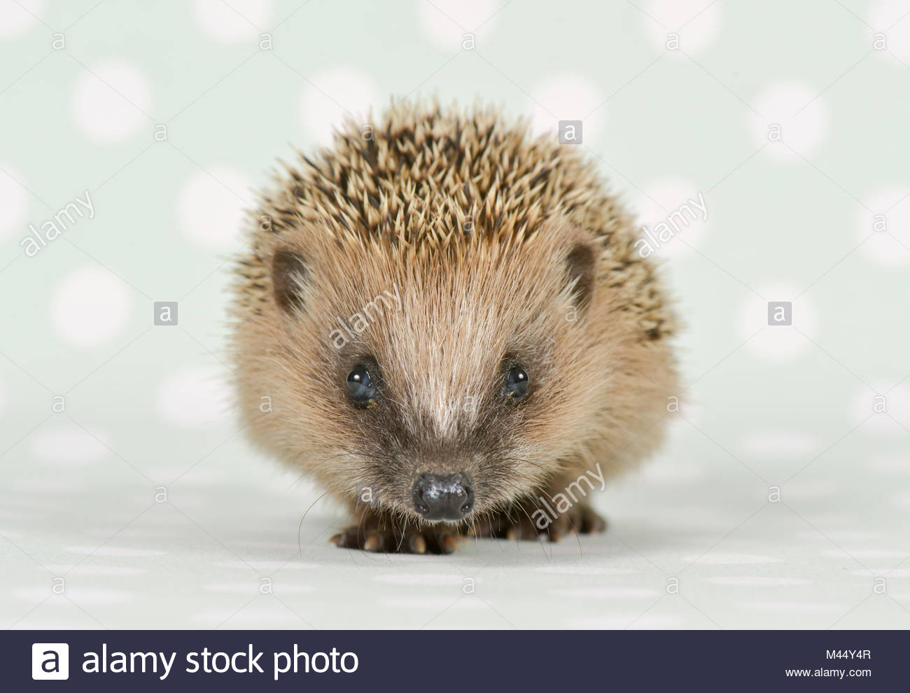 European Hedgehog (Erinaceus europaeus). Young (4 weeks old), walking. Studio picture, seen against a gray background - Stock Image