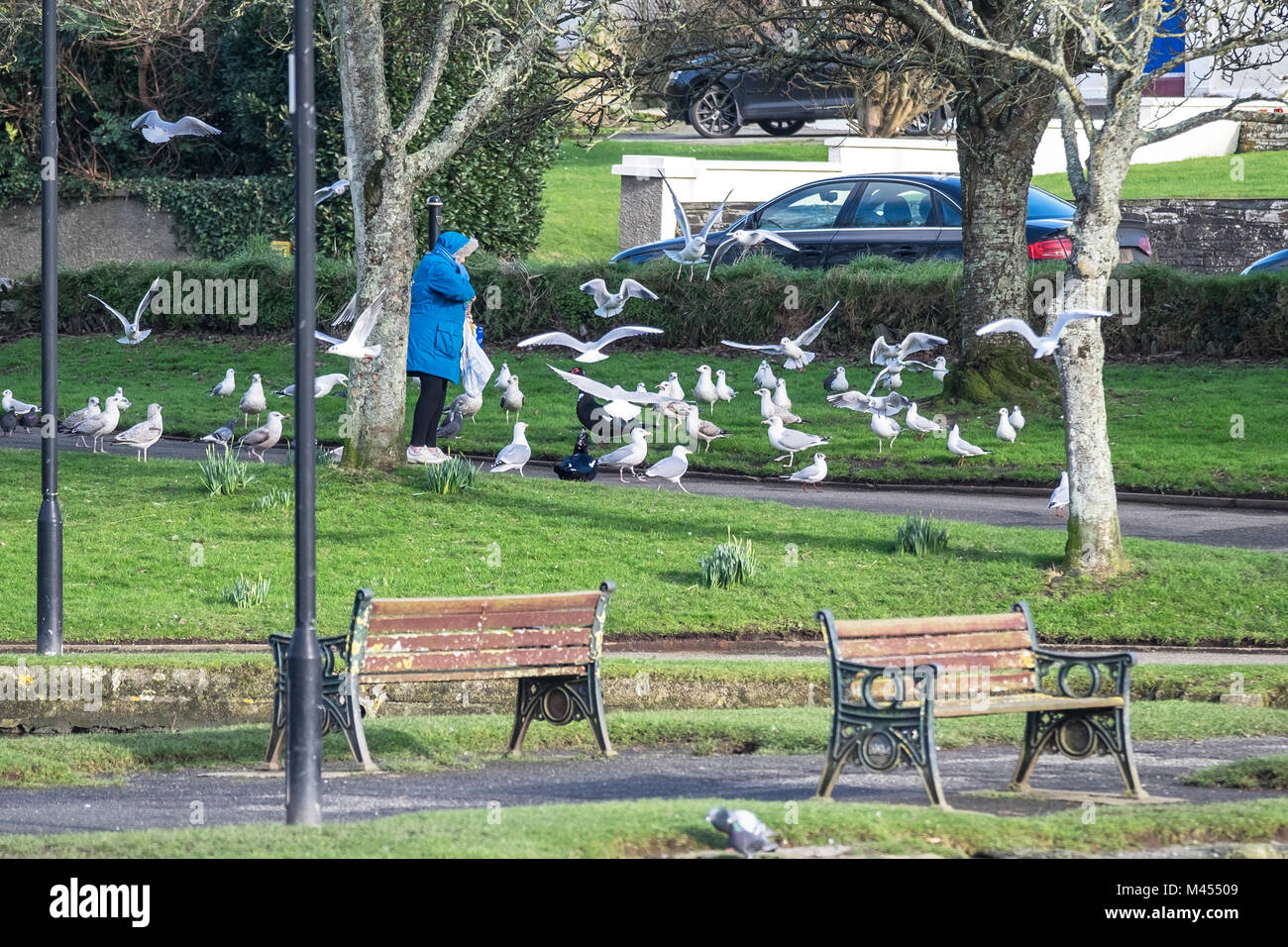 A woman feeding various types of seagulls in Trenance Park in Newquay Cornwall. - Stock Image