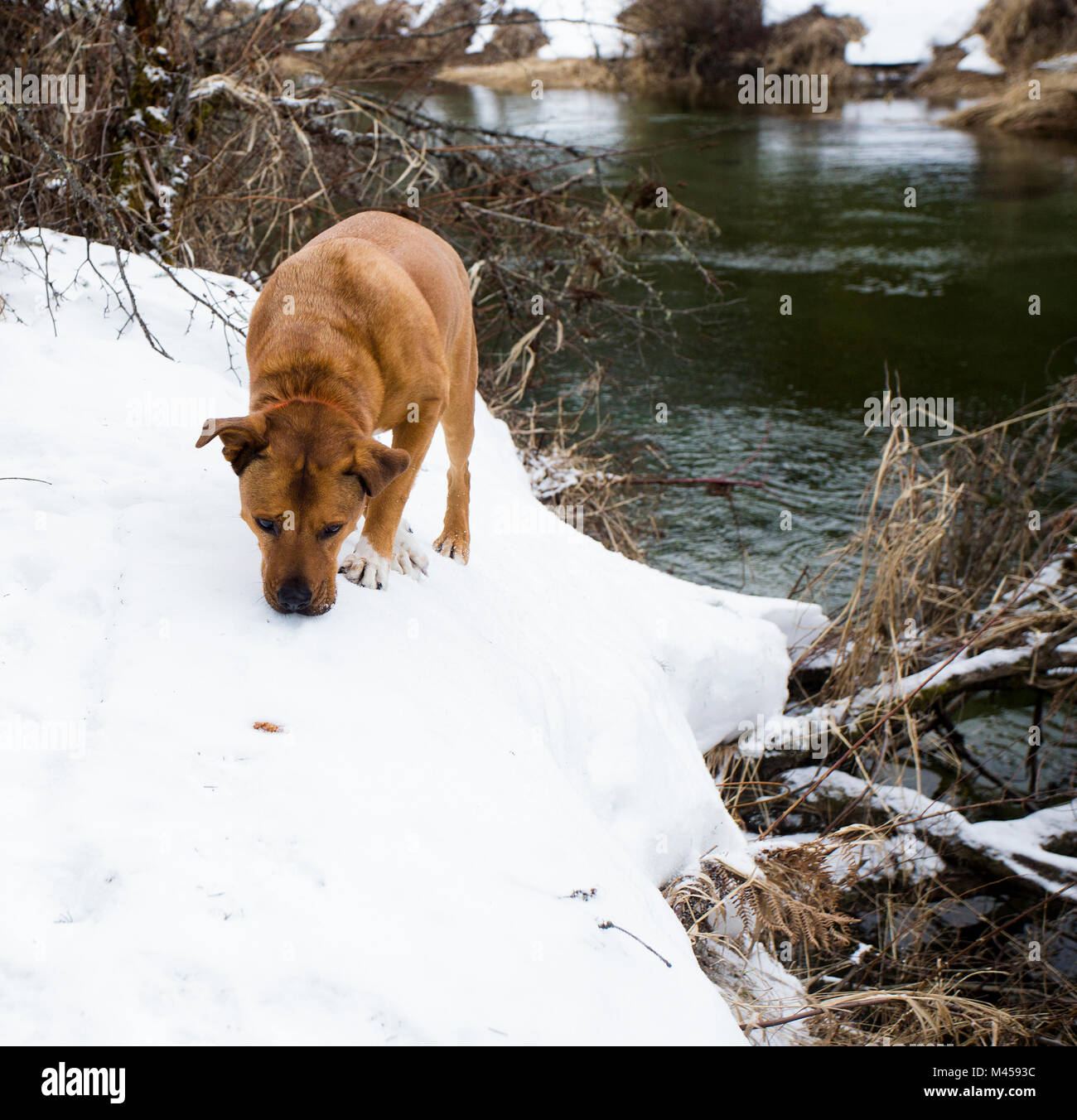 A red dog hunting along the snow covered banks in a marshy area of Bull River, on a 21ºF winter day, in Sanders Stock Photo