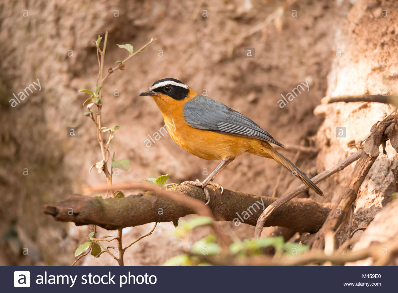 White-browed robin chat on branch beside bank - Stock Image