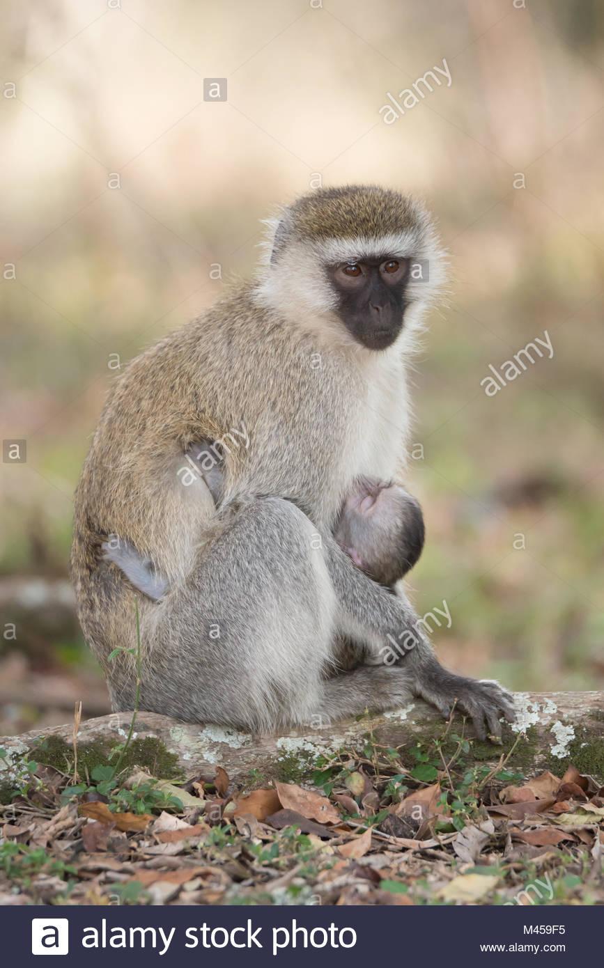 Vervet monkey with black face nursing baby - Stock Image