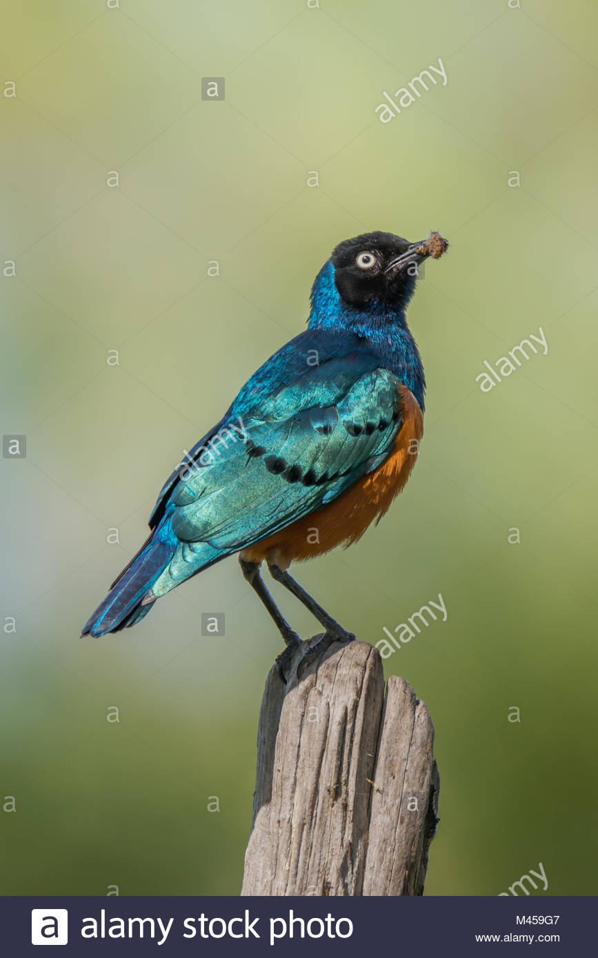 Superb starling carrying worm perched on fencepost - Stock Image